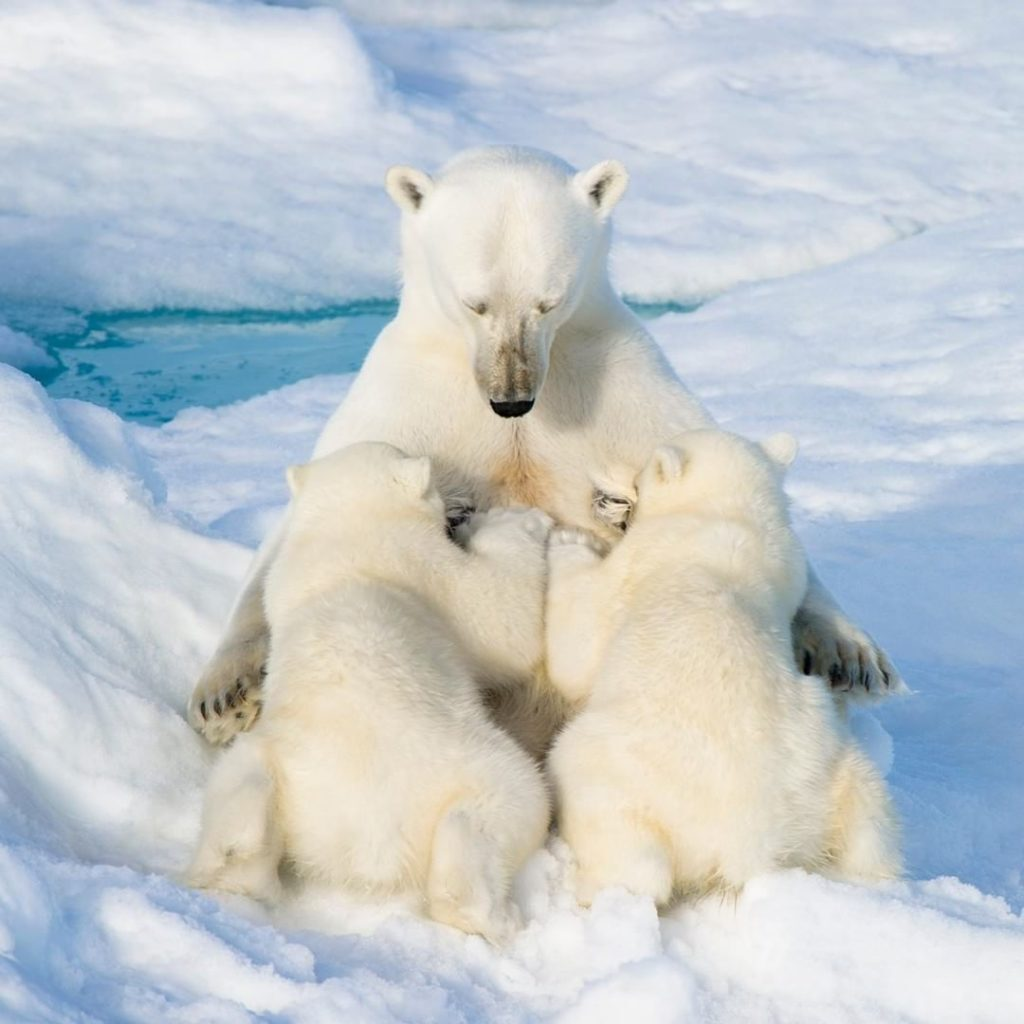 Osa amamantando a sus crías